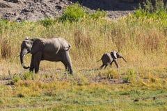 Afrikaanse Olifant, Loxodonta Africana in Wadi Huanib, Namibië stock foto's