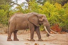 Afrikaanse Olifant & x28; Loxodonta africana& x29; Royalty-vrije Stock Afbeeldingen