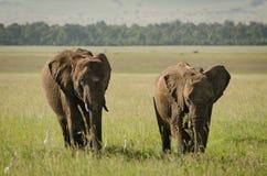 Afrikaanse olifant in Masai Mara National Reserve, Kenia Stock Afbeeldingen