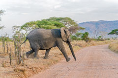 Afrikaanse olifant in Nationaal Park Serengeti Stock Fotografie