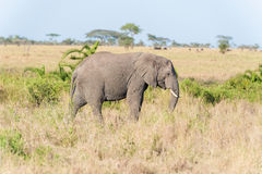 Afrikaanse olifant in Nationaal Park Serengeti Stock Afbeelding