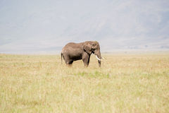 Afrikaanse olifant in Nationaal Park Serengeti Stock Afbeeldingen