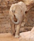 Afrikaanse olifant in natuurlijk milieu E Royalty-vrije Stock Fotografie