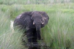 Afrikaanse olifant in Okavango royalty-vrije stock afbeelding