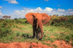Afrikaanse olifant op masai mara Kenia stock foto