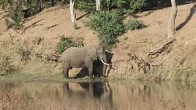Afrikaanse olifant in rivier stock video