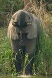 Afrikaanse Olifant, savanneolifant Afrikaanse, Loxodonta-africana royalty-vrije stock foto
