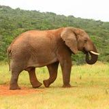 Afrikaanse olifant, Zuid-Afrika Royalty-vrije Stock Foto