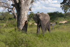 Afrikaanse Olifant in Zuid-Afrika royalty-vrije stock afbeelding