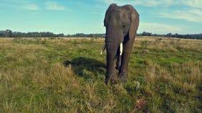 Afrikaanse olifant in Zuidafrikaanse prairie stock video