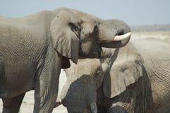 Afrikaanse olifanten #2 Royalty-vrije Stock Afbeelding