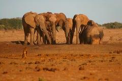 Afrikaanse Olifanten Royalty-vrije Stock Fotografie