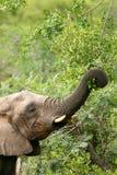 Afrikaanse Olifanten Royalty-vrije Stock Foto
