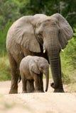 Afrikaanse Olifanten Stock Afbeelding