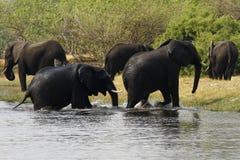 Afrikaanse olifanten Royalty-vrije Stock Afbeeldingen