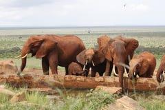 Afrikaanse olifanten Stock Foto's