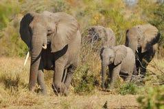 Afrikaanse Olifanten (africana Loxodonta) Stock Afbeeldingen