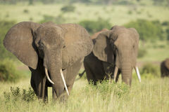 Afrikaanse Olifanten (africana Loxodonta) in Tanzania Royalty-vrije Stock Afbeeldingen