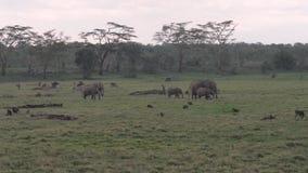 Afrikaanse olifanten, antilopen, zebras en apen die op een gebied bij acacia weiden stock videobeelden