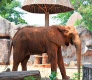 Afrikaanse olifanten bij dierentuin Stock Afbeelding