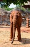 Afrikaanse olifanten bij dierentuin Royalty-vrije Stock Foto