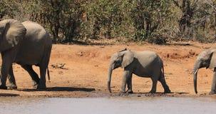 Afrikaanse olifanten bij een waterhole stock footage