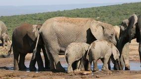 Afrikaanse olifanten bij waterhole Stock Foto
