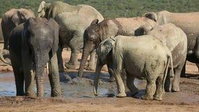 Afrikaanse olifanten bij waterhole Royalty-vrije Stock Afbeelding