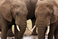 Afrikaanse olifanten bij waterhole in Zuid-Afrika Stock Foto