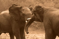 Afrikaanse Olifanten/boomstam het worstelen die vechten Royalty-vrije Stock Foto's