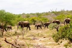 Afrikaanse Olifanten die door het bos lopen Royalty-vrije Stock Afbeeldingen