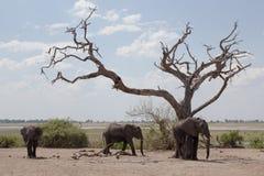 Afrikaanse olifanten die voedsel zoeken Stock Fotografie