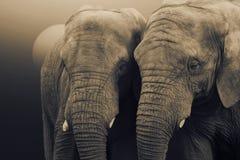 Afrikaanse Olifanten, Loxodonta-africana, die zich met de zon bevinden die erachter toenemen stock afbeeldingen