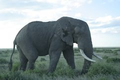 Afrikaanse Olifanten Loxodonta Africana, Ndovu of Tembo en Afrikaanse zonsondergang op de Afrikaanse Savanne Royalty-vrije Stock Foto