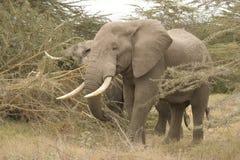 Afrikaanse Olifanten Loxodonta Africana, Ndovu of Tembo en Afrikaanse zonsondergang op de Afrikaanse Savanne Royalty-vrije Stock Foto's