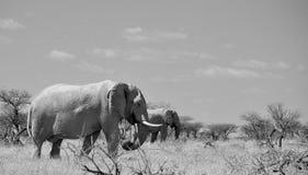 Afrikaanse olifanten in Namibië Royalty-vrije Stock Foto