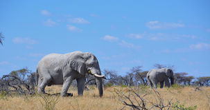 Afrikaanse olifanten in Namibië Stock Afbeeldingen