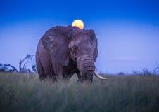 Afrikaanse olifanten onder volle maan bij savvanah bij het Koninklijke Nationale Park van Hlane royalty-vrije stock fotografie