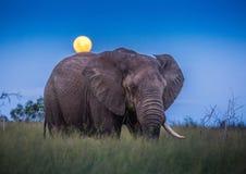 Afrikaanse olifanten onder volle maan bij savvanah bij het Koninklijke Nationale Park van Hlane stock foto's