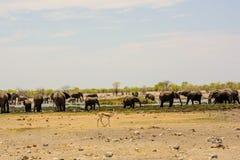 Afrikaanse olifanten rond waterhole Stock Foto