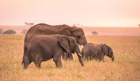 Afrikaanse Olifantsfamilie met jonge babyolifant in de savanne van Serengeti bij zonsondergang Acaciabomen op de vlaktes in Seren royalty-vrije stock afbeelding
