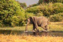 Afrikaanse Olifantsgangen in de rivier Royalty-vrije Stock Afbeelding