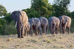 Afrikaanse Olifantsopstelling die aan Water lopen stock fotografie