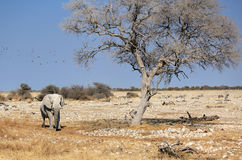 Afrikaanse olifantsstier in de Reserve van het Wild Etosha Stock Afbeeldingen