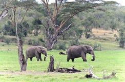 Afrikaanse olifantsstieren Stock Foto