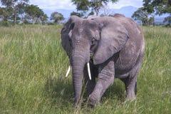 Afrikaanse omhoog dichte Olifant Royalty-vrije Stock Foto