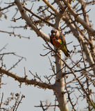 Afrikaanse oranje-Doen zwellen papegaai die vruchten eet Stock Foto's