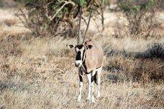 Afrikaanse Oryx-antilope in de steppe Stock Foto