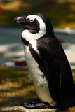 Afrikaanse Pinguïn stock afbeeldingen