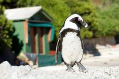 Afrikaanse pinguïn bij het Strand van Keien Stock Foto's